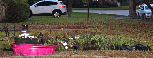 About 50 marijuana plants were found inside the home at 9924 Carnegie Dr. after Dallas Fire Rescue put out a blaze.