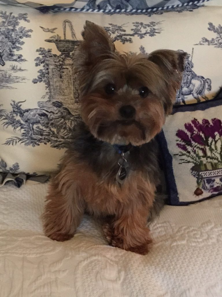 Although Janet loves to travel to San Miguel de Allende with her friends, she makes sure to leave her Yorkie, Bailey, in good hands!