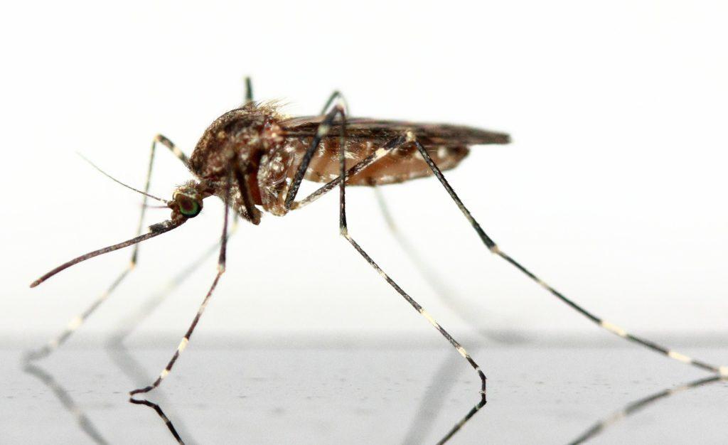 mosquito-83639_1920