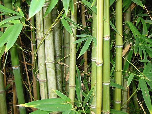 Bamboo-forest,-natural-light-1